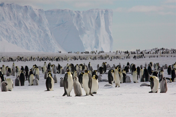 Emperor penguins on the sea ice close to Halley Research Station