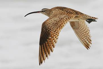 Whimbrel in flight. Photo by Glen Tepke.