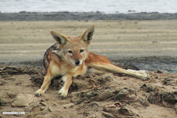 jackal on a beach in namibia