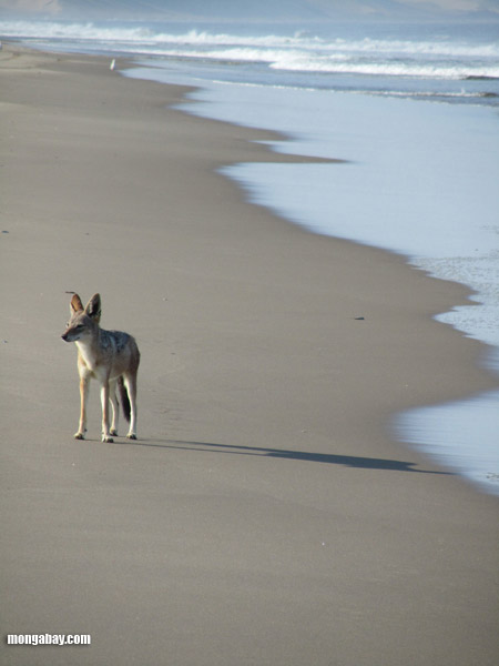 A black-backed jackal on a beach in Namibia . Photo by: Nancy Butler.