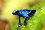 Blue azureus dart frog