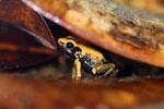Golden terribilis, the world's most poisonous frog