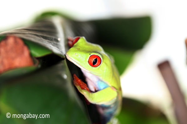 Picture: Red-eyed tree frog