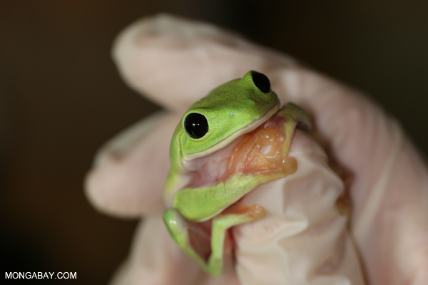 Morelet's tree frog or the Black-eyed tree frog (Agalychnis moreletii) from Central America is Critically Endangered.