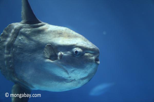 pacific ocean sunfish