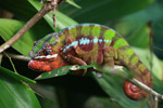 Male panther chameleon (Christmas colors)