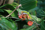 Male panther chameleon (breeding coloration) [animals_zh_011]