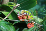 Male panther chameleon (breeding coloration) [animals_zh_014]