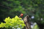 Madagascar Red Fody (Foudia madagascariensis) [animals_zh_024]