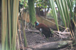 Madagascar Crested Ibis (Lophotibis cristata) in captivity [animals_zh_052]