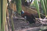 Madagascar Crested Ibis (Lophotibis cristata) in captivity [animals_zh_053]