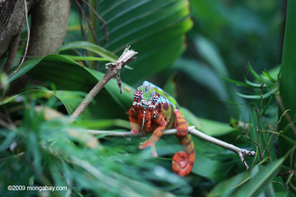Male panther chameleon (Christmas coloration - red and green)