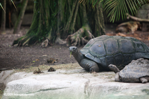 Aldabra Giant Tortoise (Geochelone gigantea) in captivity