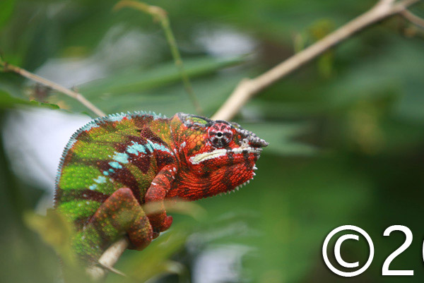 Male panther chameleon (breeding coloration)