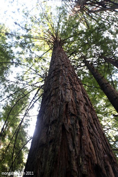 Redwood forest of Russian Gulch State Park . Photo by: Rhett A. Butler.