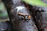 Gorgona Marbled Poison Frog (Epipedobates boulengeri)