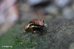 Epipedobates boulengeri Poison Frog