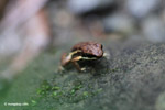 Epipedobates boulengeri Poison Dart Frog
