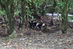 White-headed capuchin monkeys tearing open an ant nest