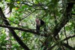 White-headed capuchin [colombia_2973]