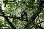 White-headed capuchin monkey [colombia_2975]