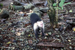 White-headed capuchin (Cebus capucinus) tearing open an ant nest [colombia_2985]