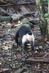 White-headed capuchin monkey tearing open an ant nest [colombia_2986]