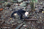 White-headed capuchin (Cebus capucinus) tearing open an ant nest [colombia_2988]