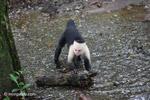 White-headed capuchin (Cebus capucinus) tearing open an ant nest