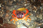 Sally lightfoot crab [colombia_3102]