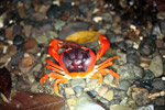Sally lightfoot crab [colombia_3103]