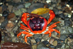 Sally lightfoot crab [colombia_3104]