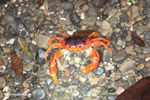 Sally lightfoot crab [colombia_3105]