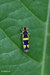 Yellow and black leafhopper [colombia_3135]
