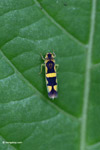 Yellow and black leafhopper