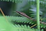 Brown Vine Snake (Oxybelis aeneus)  [colombia_3145]