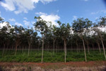 Young rubber trees in Latin America's largest rubber plantation