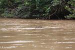 Capybara swimming across a river