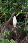 Cattle egret [colombia_3271]