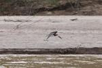 Black skimmer [colombia_3295]