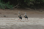 Pair of Orinoco geese [colombia_3331]