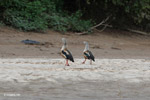 Orinoco geese walking in synch