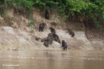 Group of capybara on a river bank [colombia_3362]