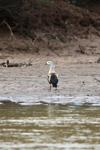 Orinoco goose [colombia_3376]