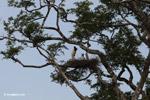 Jabiru stork standing in its nest [colombia_3389]