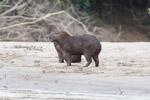 Capybara on a beach [colombia_3395]