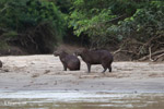 Capybara on a beach
