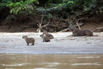 Capybara, including babies, on a beach