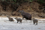 Capybara, including babies, on a beach [colombia_3407]