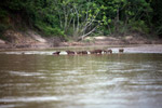 Capybaras in a river [colombia_3426]
